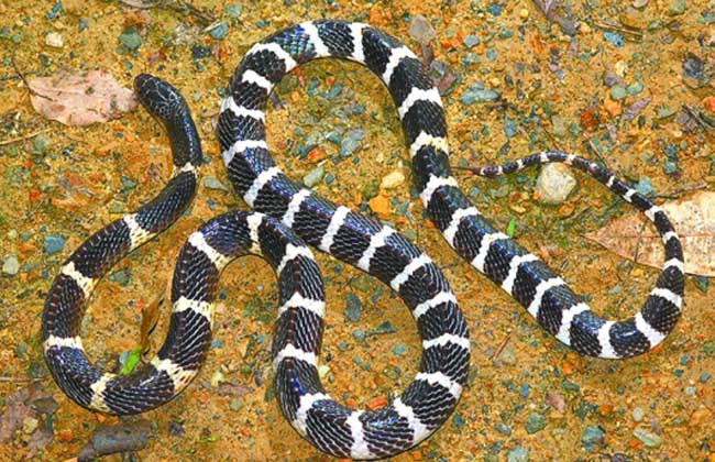 女孩养银环蛇当宠物,不是玩这么简单