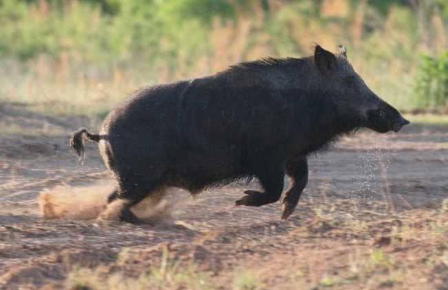 土狗被八百斤的野猪气势吓尿了,为救土狗两只杜高犬勇