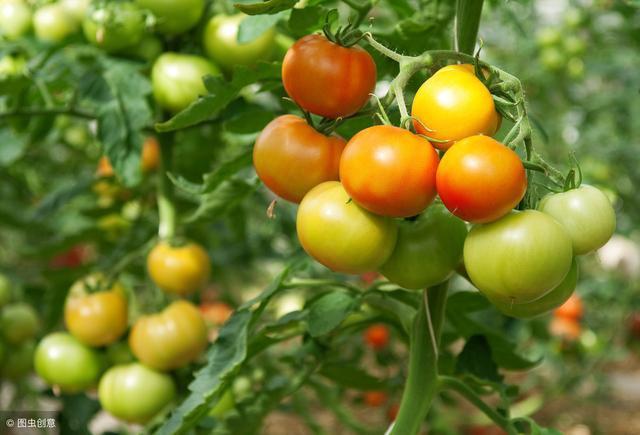 """番茄溃疡病,果实上的""""鸟眼斑"""",减产厉害!重点精讲!"""