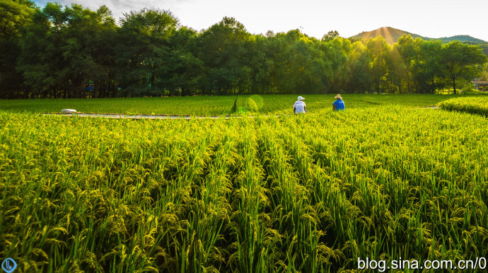 乾隆皇帝曾御封过的水稻田