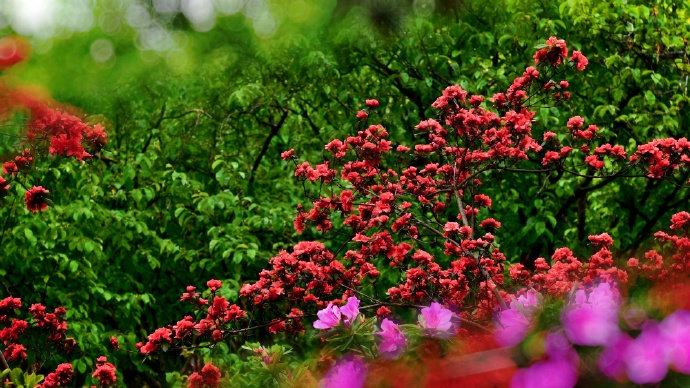 南京玄武湖盛放的杜鹃花
