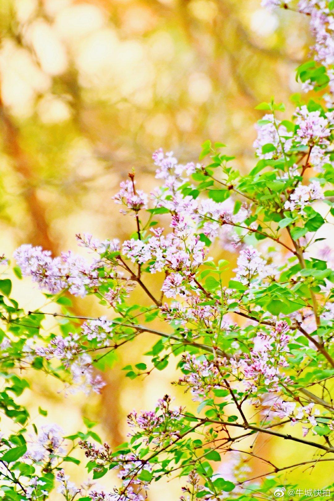 这个春天不寂寞,又一个丁香花开的季节来了