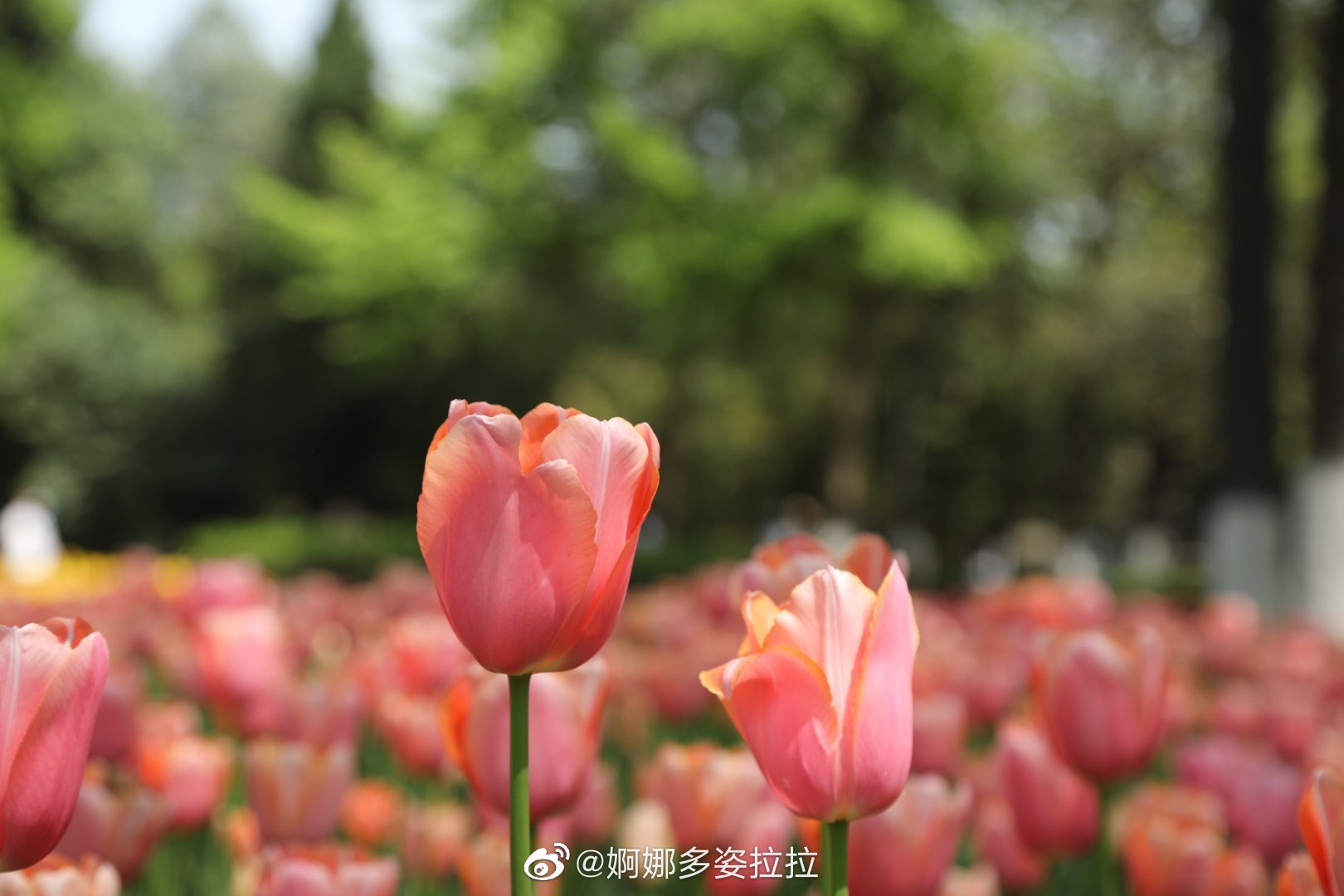 趁着春未暮,花未央,相约到西安兴庆宫公园