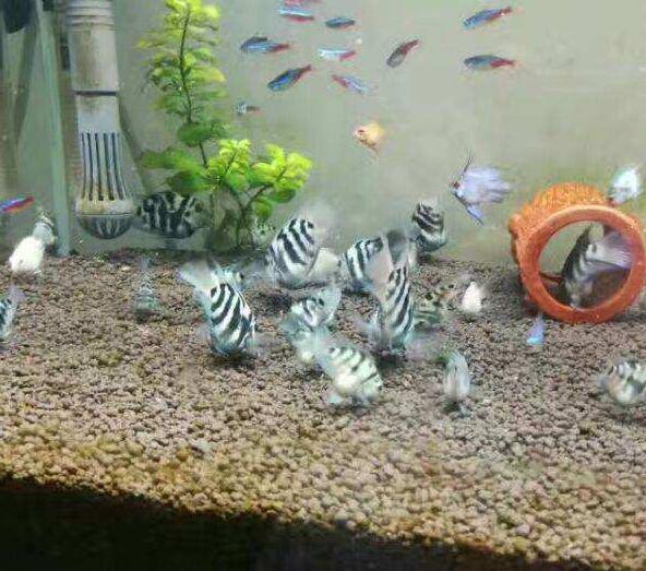 迷你鹦鹉鱼怎么养?迷你鹦鹉鱼饲养繁殖全攻略在这儿