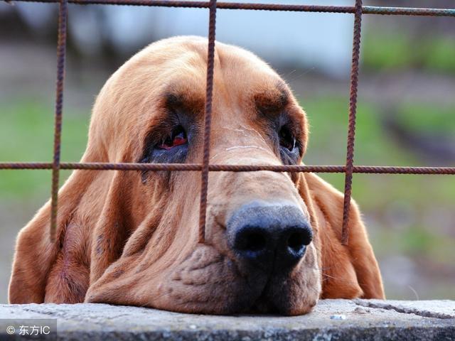 狗狗为什么会哭?科学家这样回答,网友:涨知识