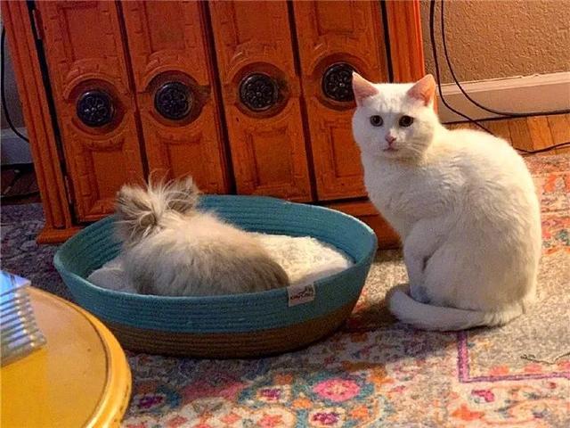 宠物兔欺压小白猫,连猫砂盆都被抢后,猫咪忍无可忍只好求助主人