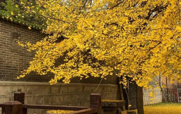 李世民栽了棵银杏 美了1400多年