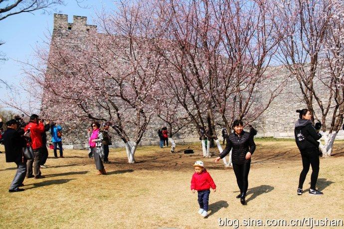 北京明城墙下暗香浮动梅花开