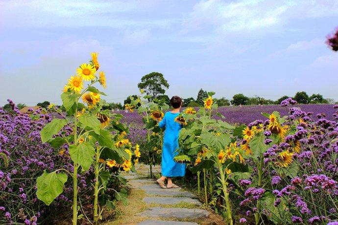 金色向日葵遇上紫色花海