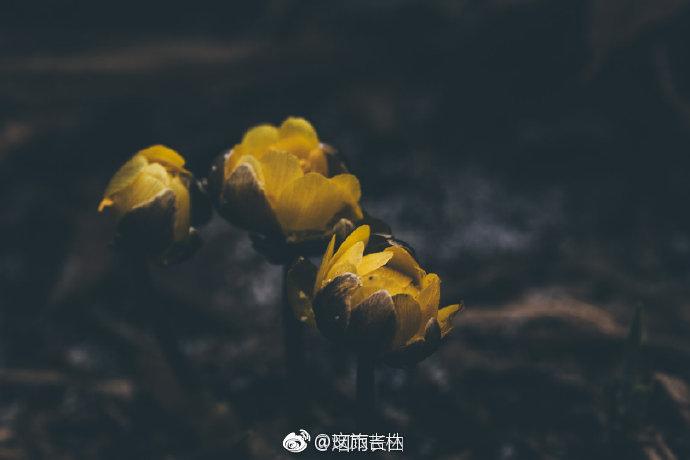 一朵朵晶莹莹、黄灿灿的花儿羞怯地向你芳唇含笑,美不可言