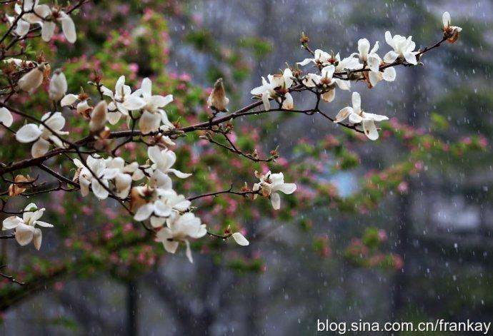 北京四月雪,惊艳了整个春天