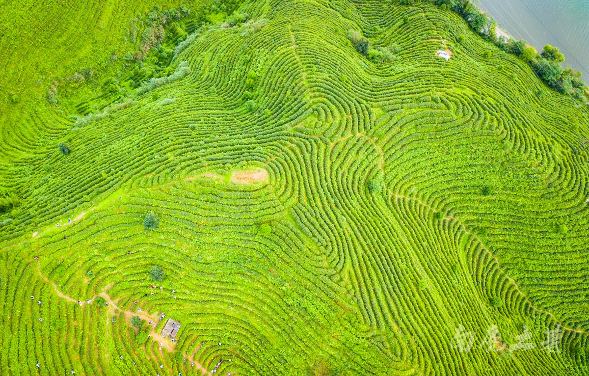 江西最后一座未开发的旅游名山,茶园像大地指纹