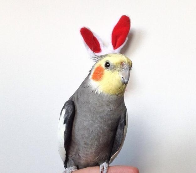 宠物:这样有灵性的玄凤鹦鹉,你不想想要拥有一只么!