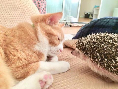 橘猫跟一只刺猬相处日子:想抱,可是怕疼……!