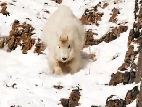 世界上罕见的雪羊,攀爬陡壁犹如地上行走,健步如飞!