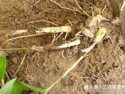 生长在深山老林的野生玉竹,长得像虫子,如今是一味良药