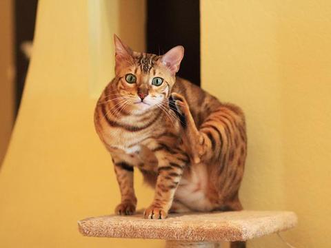 """目前市面上最容易买得到的""""大众""""猫,非它们莫属了"""