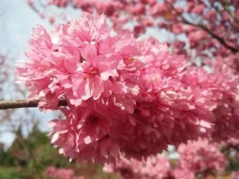 第三届云南抚仙湖樱花节3月30日开幕!我在抚仙湖畔等着你!