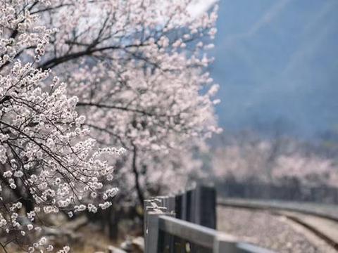 杏花开了,和田推出两条组团和7条自驾游赏花线路