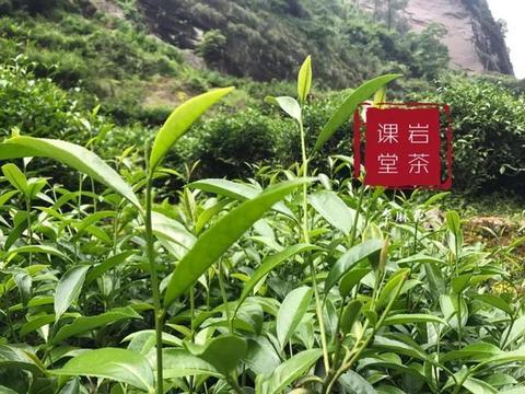 """泣血总结,武夷岩茶中,这四类""""牛栏坑肉桂""""再便宜也不要买!"""