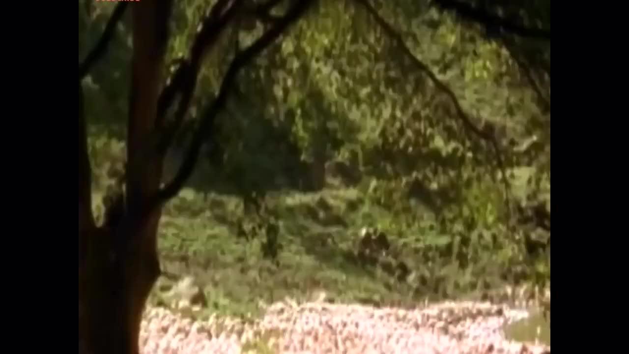 有单挑有群架,狒狒大战狮子的血腥场面集锦!