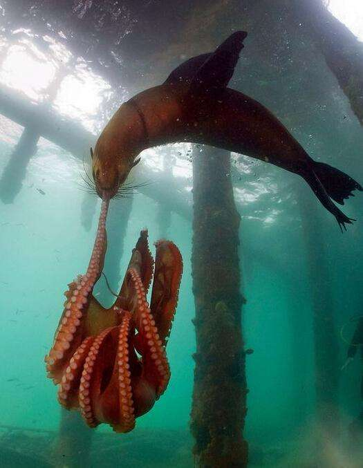 海狗误闯章鱼海狗,为了v海狗章鱼与领地展开殊死搏斗为什么蜜蜂往家里钻图片