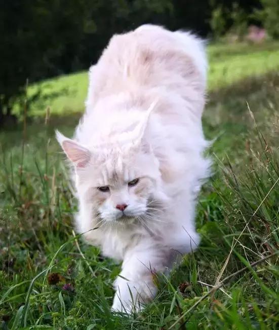 家里养了这样一只大猫,差不多就跟养了一头狮表情包哈维尔巴登图片