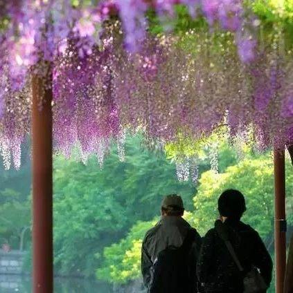 嘉定紫藤园迎来盛花期 百株紫藤绽放可免费观赏