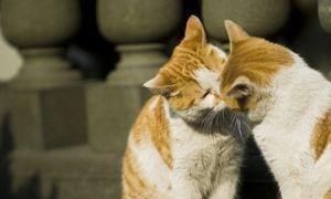 公猫发情特征不明显图片