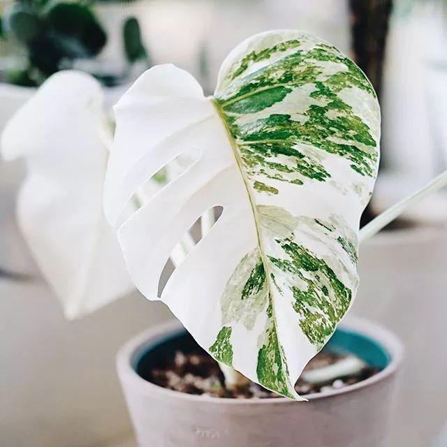 叶片像翡翠一般的花边锦叶龟背竹,其实就是叶子变异了