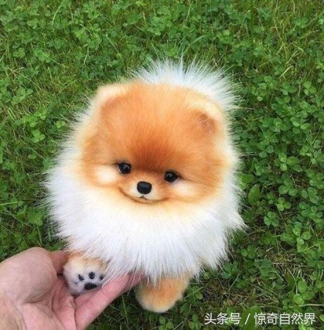 世界上最可爱的小狗,简直萌得犯规!