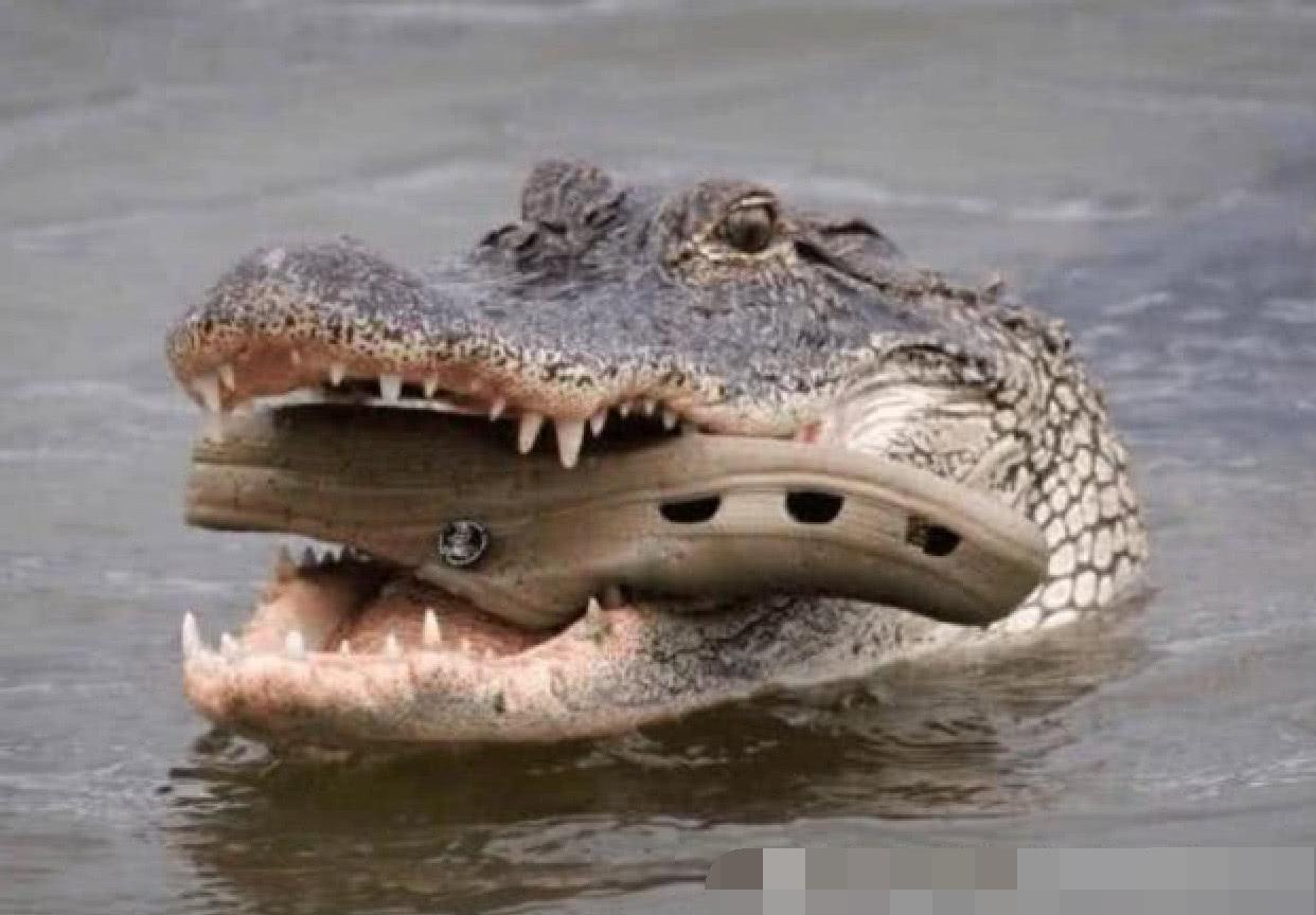 男子用臭鞋挑衅鳄鱼,以为这下要遭殃了,鳄鱼的表情却萌翻了他图片