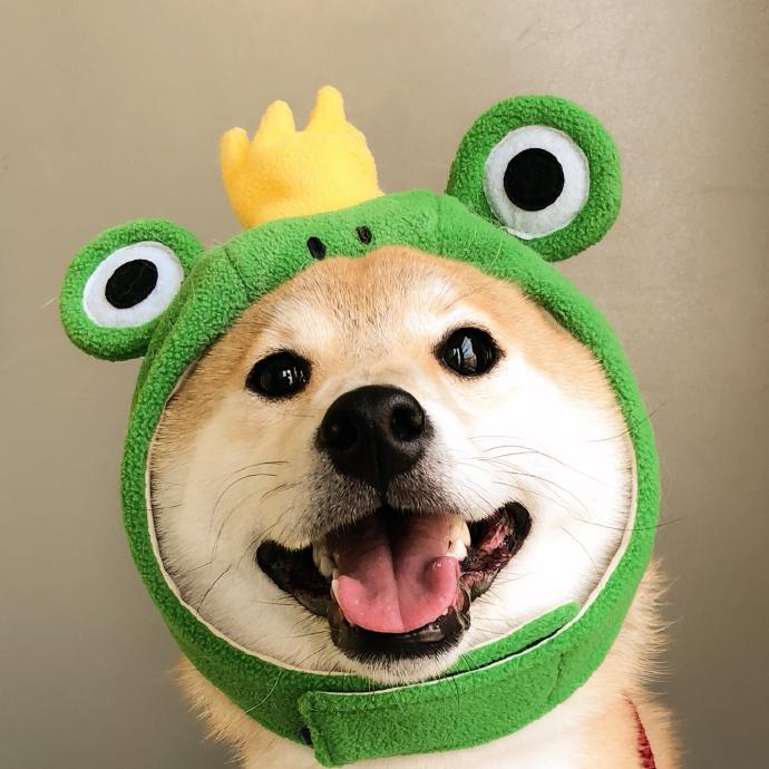 世界萌宠图鉴:柴犬,一只行走的表情包