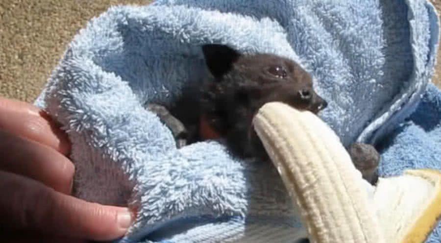 蝙蝠宝宝遭遇车祸后被救治,当吃到香蕉的一瞬间,它的表情亮了图片
