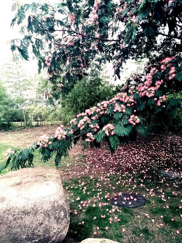 读《马缨花》:季羡林的美韵与向往