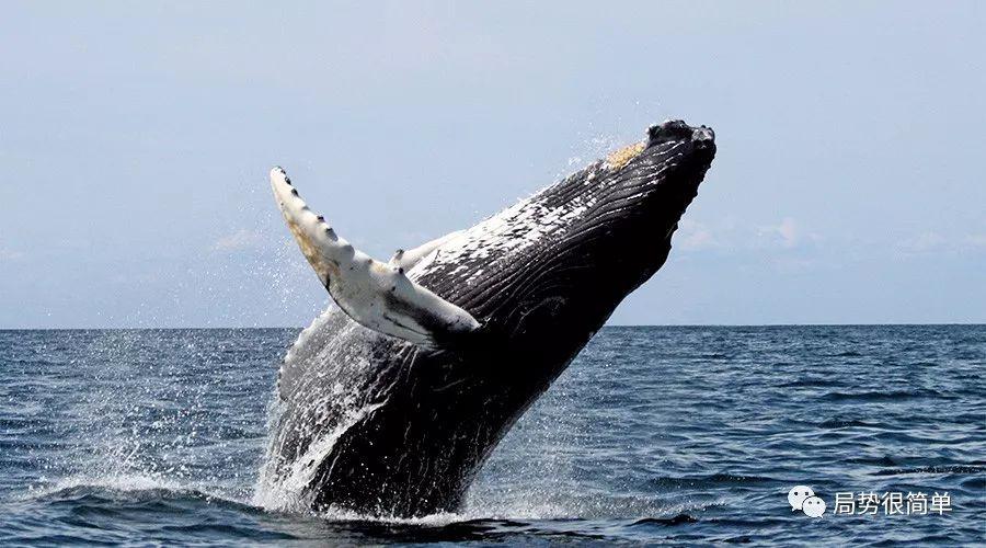 顶着压力和指责,日本恢复了残忍的商业捕鲸