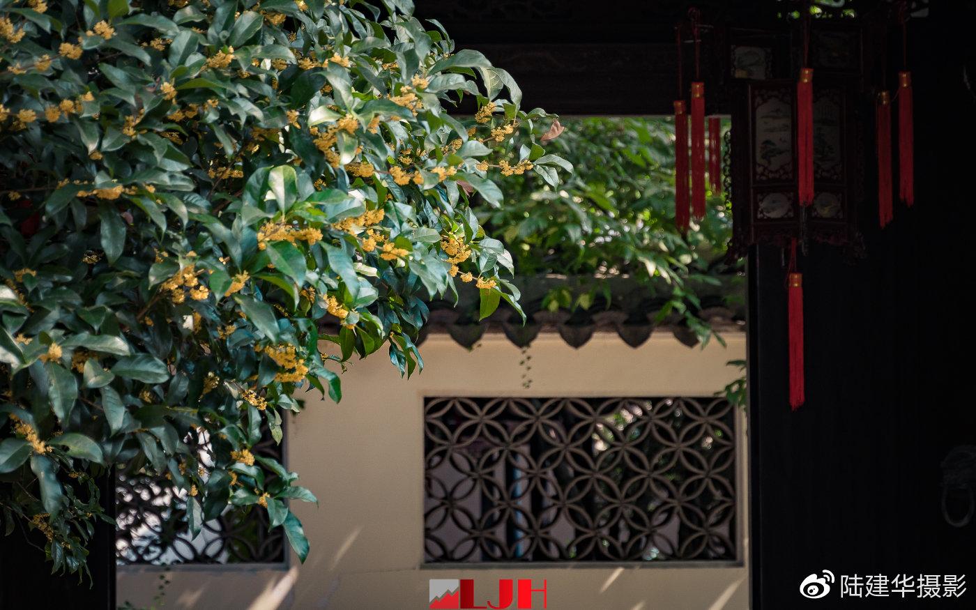 秋日出游去惠山古镇 现在是赏桂花的最佳时机