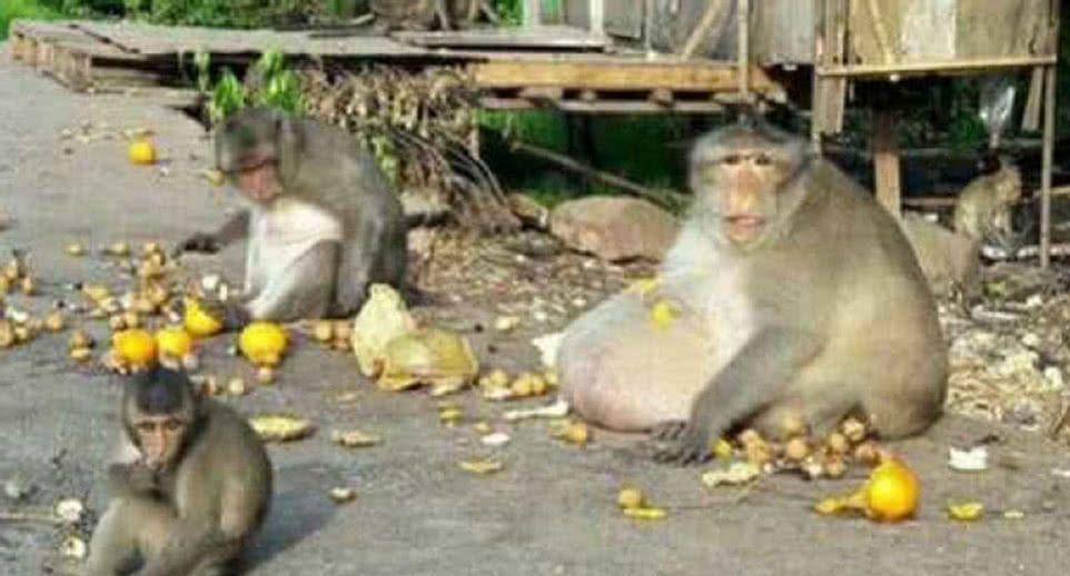 猴子肚子超大,宛如怀了个几胞胎,看到旁边这一幕让人担心不已