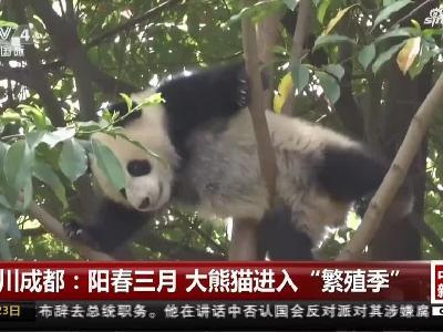 阳春三月 四川大熊猫进入繁殖季