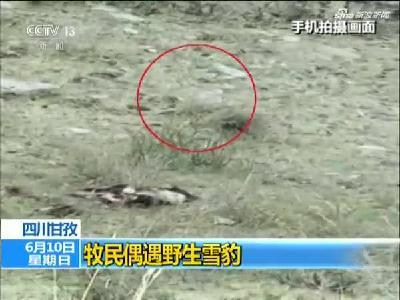 四川甘孜牧民偶遇野生雪豹