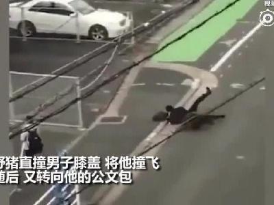 飞来横祸!日本一男子步行途中被野猪撞飞遭撕咬