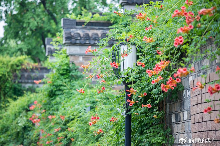 【老门东】雨后的凌霄花