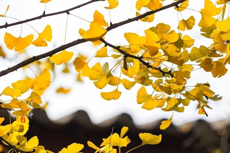 云南腾冲银杏村,金色的童话世界