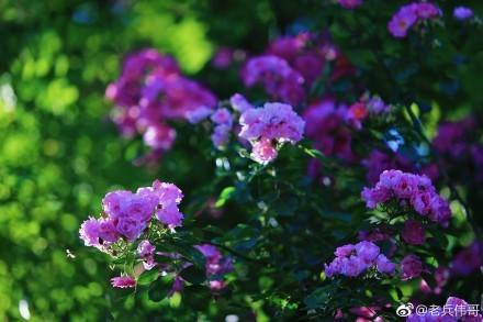 遇见大连 又到蔷薇花开时