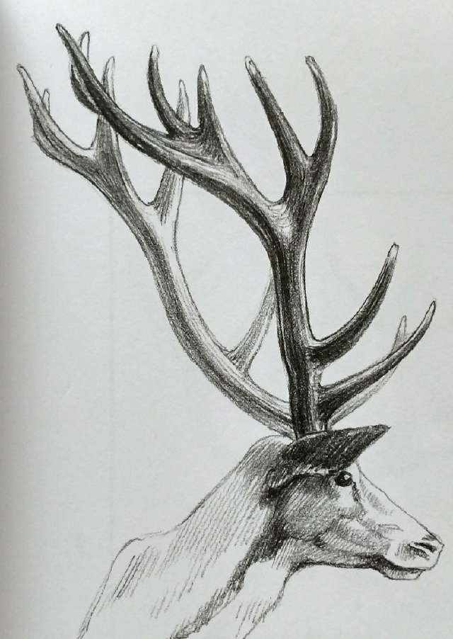 手绘学习:鹿子的画法|鹿角|赤鹿|长度_新浪网