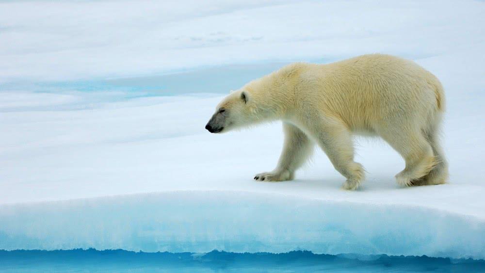 北极熊在引发的墨西哥动物园生活了25年后梦见死去各温暖家门口很多蟒蛇图片