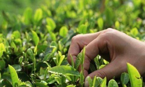有种情怀叫秋茶 日照绿茶秋茶粉墨登场