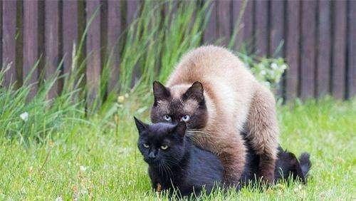 公猫发情特征怎么办图片