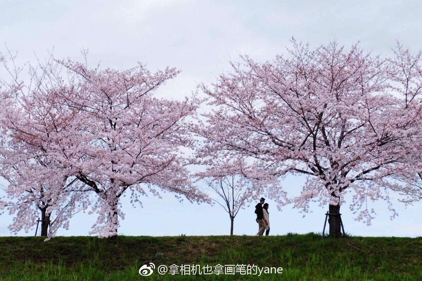 日本浪漫飘雪的樱花季
