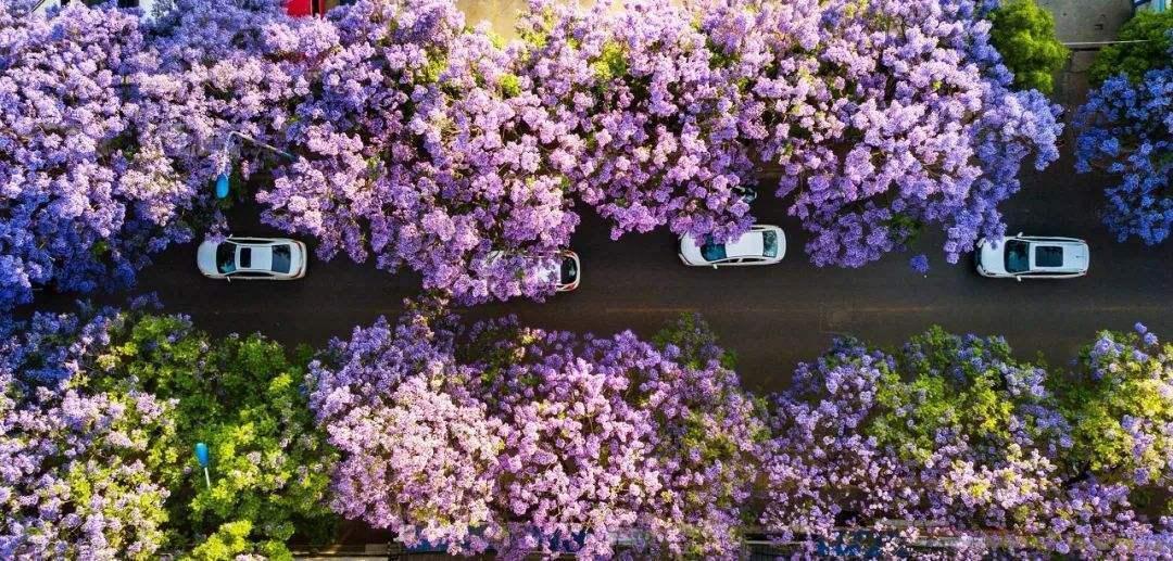 梦幻的蓝花楹在春城昆明如期绽放